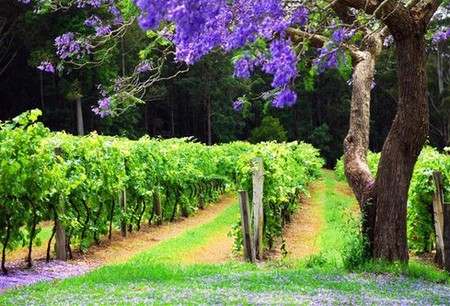 Bago Vineyards - Accommodation Whitsundays