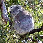 Koala Conservation Centre - Accommodation Whitsundays