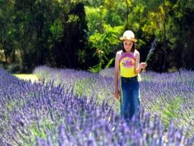 Brayfield Park Lavender Farm - Accommodation Whitsundays