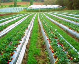 Kookaberry Strawberry Farm - Accommodation Whitsundays