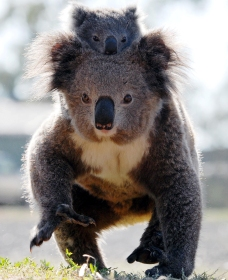 Koalas in Gunnedah - Accommodation Whitsundays