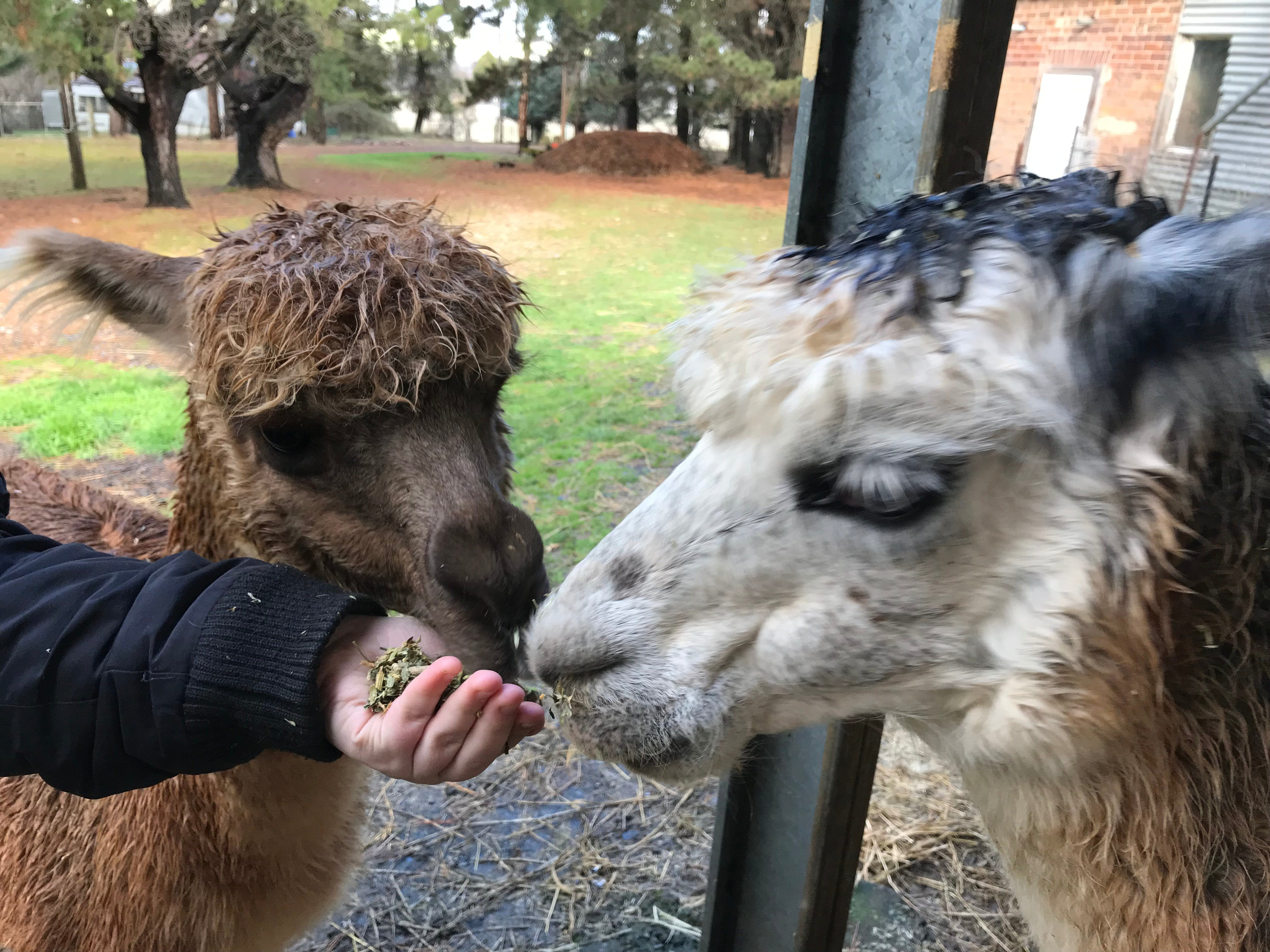 Alpaca Farm Experience at Crookwell - Accommodation Whitsundays