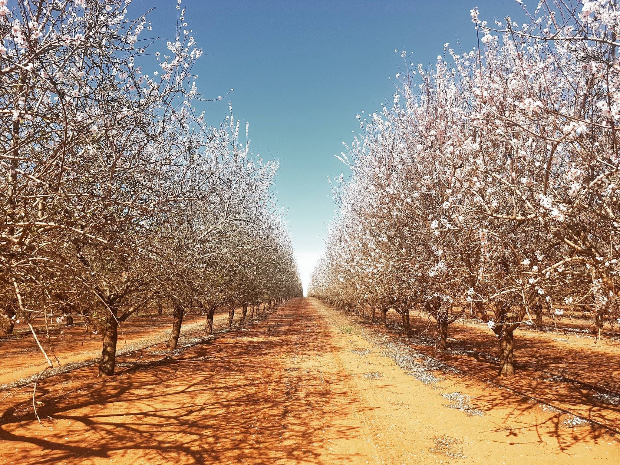 Mallee Almond Blossom Festival - Accommodation Whitsundays