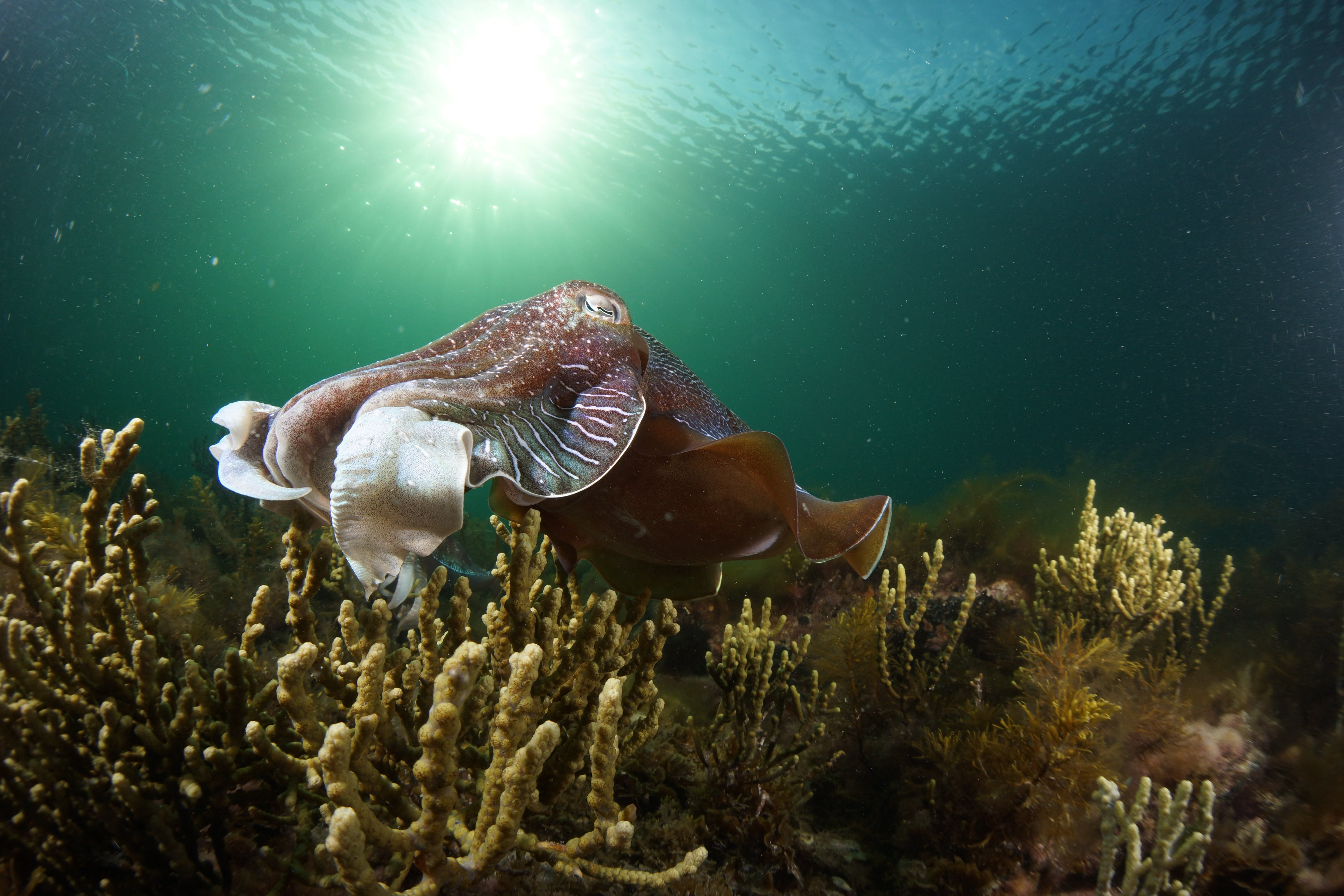 Cuttlefish Diving  Snorkeling EVERYDAY May -August - Accommodation Whitsundays